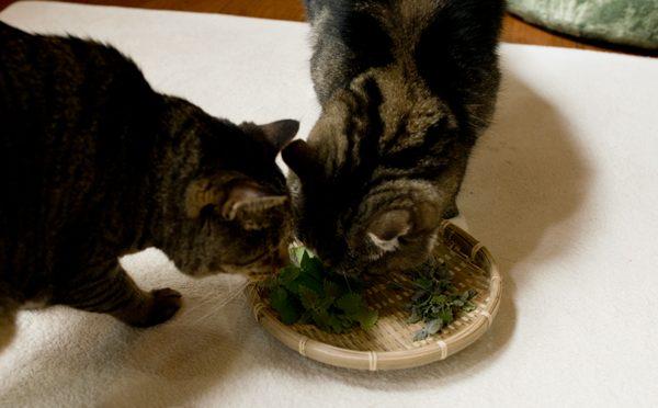 キャットニップは生が好きなまるとはな。-Maru&Hana like a raw catnip.-