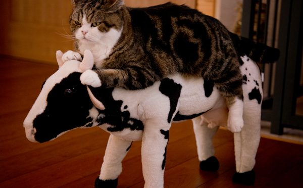 牛に乗るねこ。Maru&Hana get on the cow.