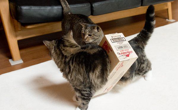 箱を脱ぎに行きます。Maru goes to take off the box.