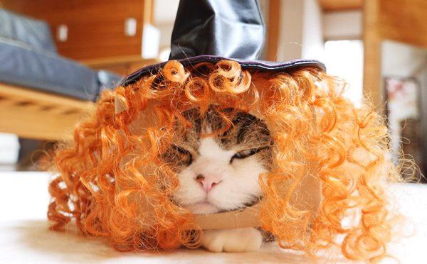 ハロウィンの準備は万端なまる。Maru prepares for the Halloween.