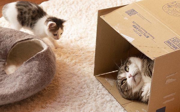 絡まれるまる。Maru is teased by the kitten.